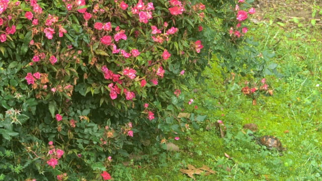 rose bush and turtle in the morning - bush stock videos & royalty-free footage