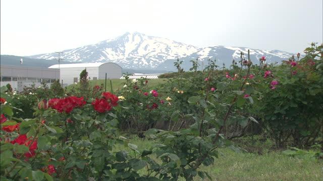 rose bushes grow near mount chokai in japan. - 鳥海山点の映像素材/bロール
