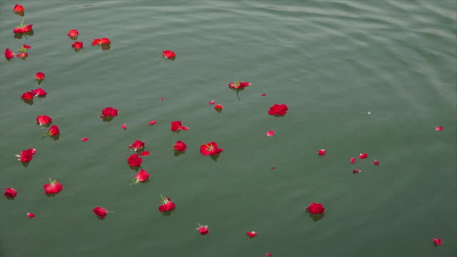 rose flower being scattered on the river, ganga - acqua santa video stock e b–roll
