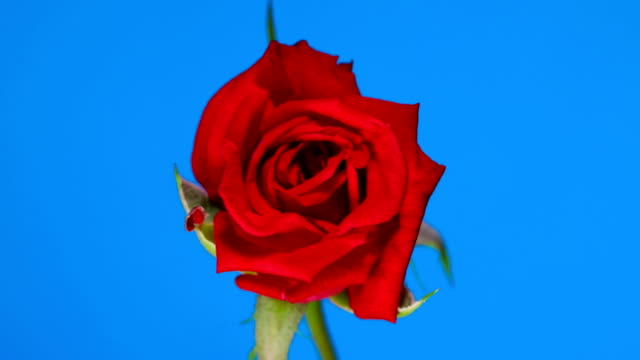 rose flower blooming time lapse blue screen background - bouquet video stock e b–roll