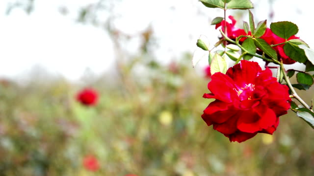 Rose flower swaying though wind in the nature