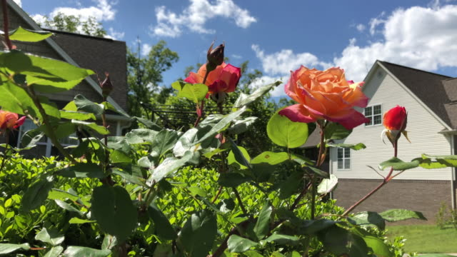 rose flowers and house building under bright sunlight in spring. - bush stock videos & royalty-free footage