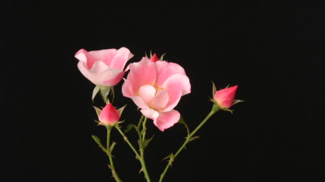 rose flowers closing, black background, timelapse reversed. - in bloom stock videos & royalty-free footage