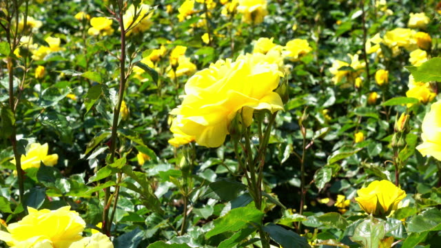 Giardino delle Rose 4 k