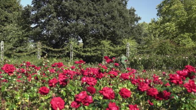 vídeos de stock, filmes e b-roll de jardim de rosas na secção de jardim londres regents park queen mary - parque regents