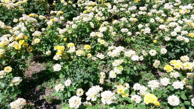 ローズ ガーデン ウィーン - 花壇点の映像素材/bロール