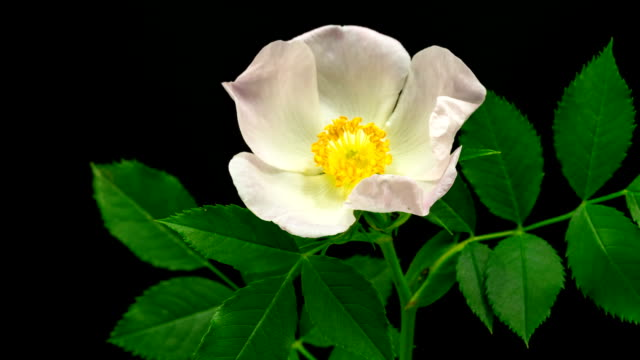 rose hip flower blooming against black background - rose flower stock videos and b-roll footage