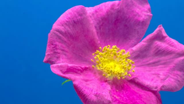 黒の背景にローズヒップの花 - 園芸学点の映像素材/bロール