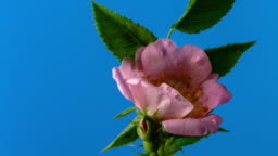 Rose hip flower blooming and rotating on blue background a time lapse 4k video.