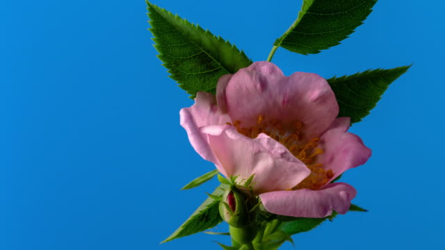rose hip flower blooming and rotating on blue background a time lapse 4k video. - fast motion stock videos & royalty-free footage
