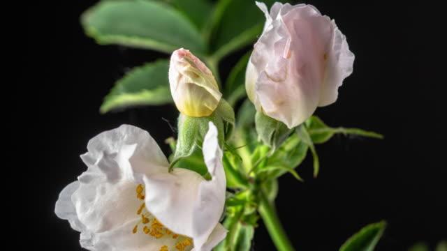 vídeos de stock e filmes b-roll de rose hip flower blooming on black background a time lapse 4k video. - pistilo