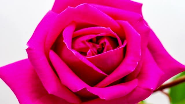 rose hip blumen erblühen - rose stock-videos und b-roll-filmmaterial
