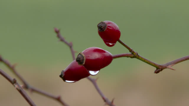 Rose hips in Dumfries and Galloway south west Scotland
