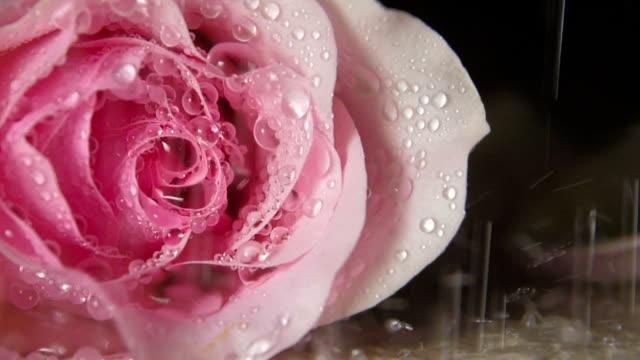 vídeos y material grabado en eventos de stock de rose en la lluvia, de cerca - una rosa