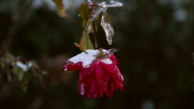 stockvideo's en b-roll-footage met a rose is covered with snow and ice as snow that fell yesterday and cold weather blanket the area on january 4 2018 in savannah georgia from maine to... - georgia us state