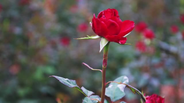 rose is seen at the rose plant nursery flors pons on april 22, 2020 in santa susanna, near barcelona, spain. last year more than 7 million roses were... - pons stock videos & royalty-free footage