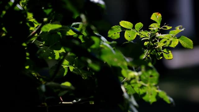 vídeos de stock e filmes b-roll de rose leaf disease - focagem difusa