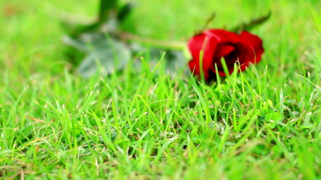 rose on the grass. - pets stock videos & royalty-free footage