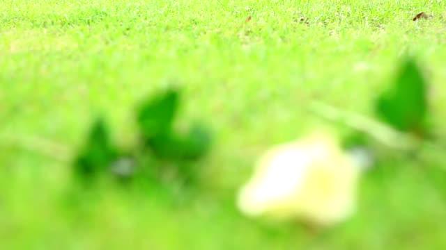 ローズの芝生。 - チョークの跡点の映像素材/bロール