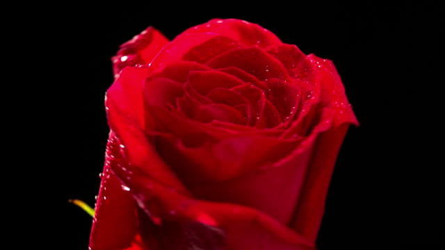 Rose red flower rotating with black background