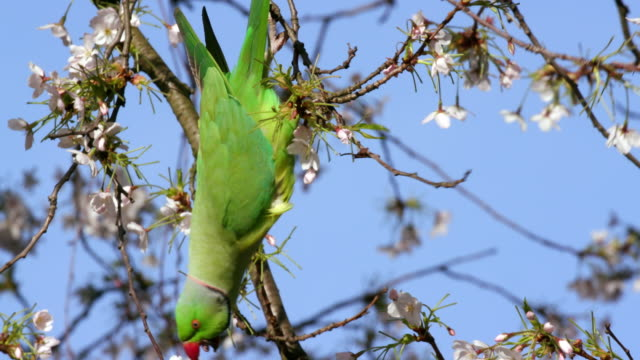 rose ringed parakeet on cheery blossom tree st james's  park  london - upside down stock videos & royalty-free footage