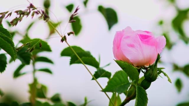 vídeos y material grabado en eventos de stock de rosa. aroma de belleza. - formal garden