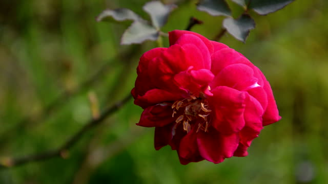 Rose ondeggianti al vento