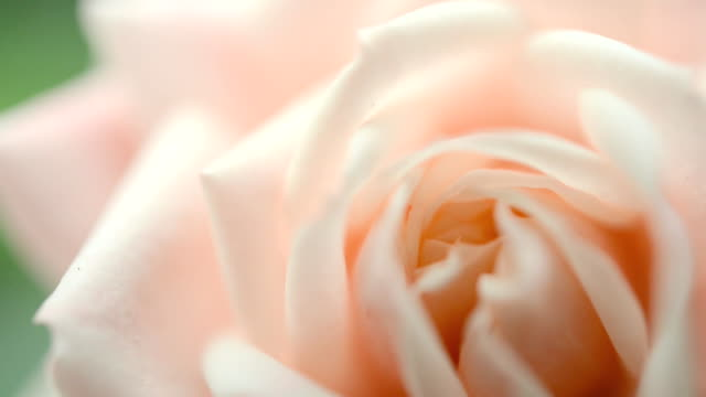 rose - rose stock videos & royalty-free footage