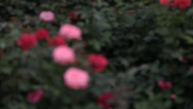 rose - petal stock videos & royalty-free footage