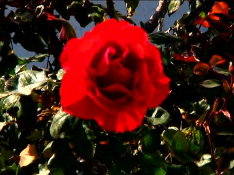 vídeos y material grabado en eventos de stock de rose - una rosa