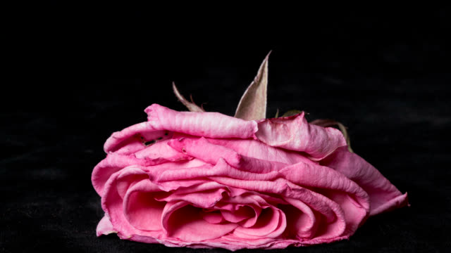 'Rose wilting, timelapse'