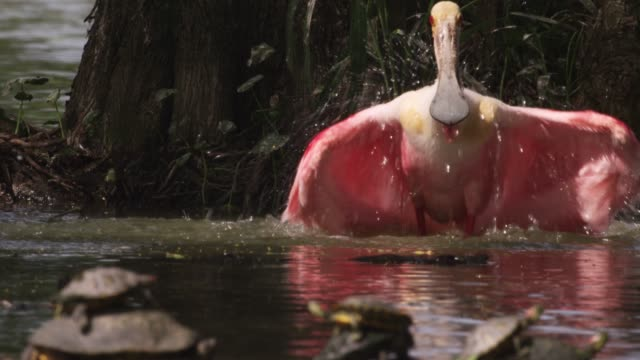 Roseate spoonbill bathes, USA