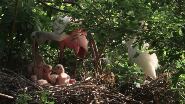 Roseate spoonbill feeds chick, USA