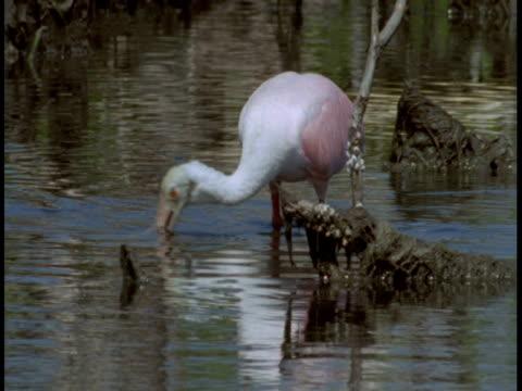 vídeos y material grabado en eventos de stock de a roseate spoonbill feeds from among mangrove roots in the everglades. - hurgar en la basura