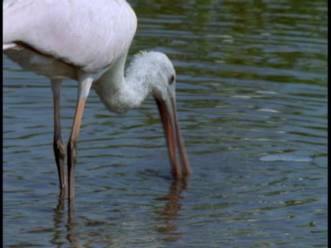 vídeos y material grabado en eventos de stock de a roseate spoonbill scavenges among mangrove roots in the everglades. - hurgar en la basura