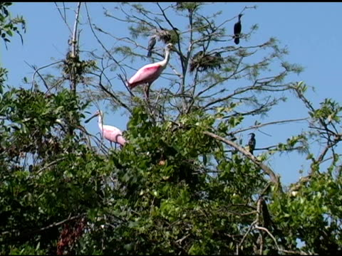 roseate spoonbills and anhingas in trees - medium group of animals stock videos & royalty-free footage