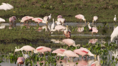 roseate spoonbills (platalea ajaja) feed alongside snowy egrets (egretta thula). - south america stock videos & royalty-free footage
