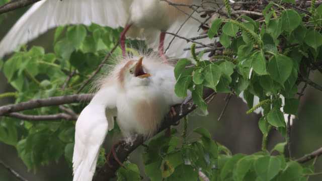 roseate spoonbills quarrel with cattle egrets, usa - reihergattung egretta stock-videos und b-roll-filmmaterial