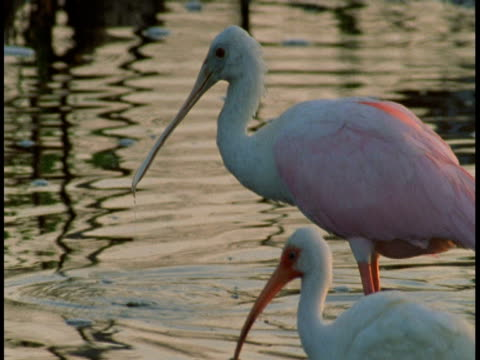 roseate spoonbills walk through a swamp and feed on the bottom. - 動物の口点の映像素材/bロール