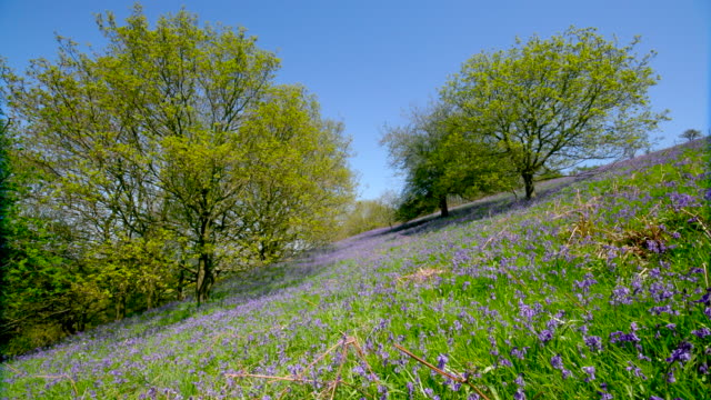 roseberry topping & bluebells - wildflower stock videos & royalty-free footage