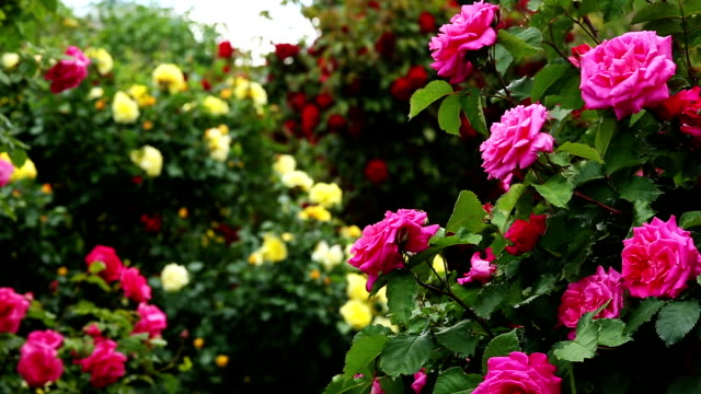rosebush - bush stock videos & royalty-free footage