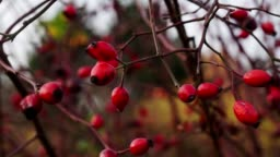 Rosehips at the bush in the closeup