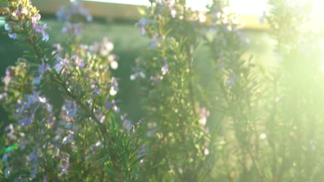 rosemary in pot on balcony at home - gardening stock videos & royalty-free footage