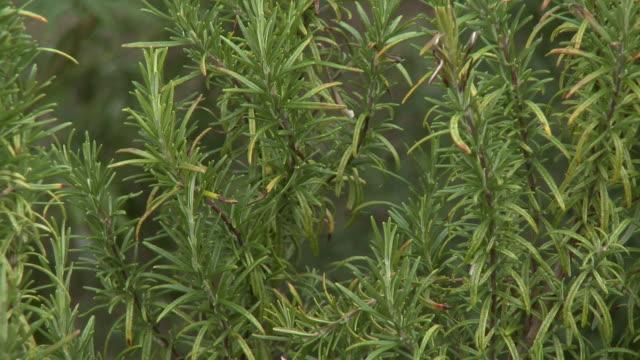 rosemary plant in garden - ローズマリー点の映像素材/bロール
