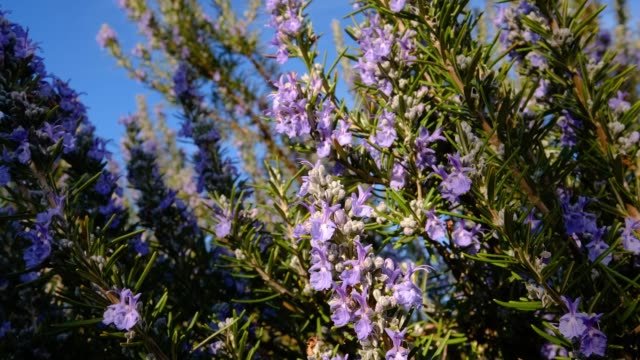 rosemary plant with flowers - aromatherapy stock videos & royalty-free footage