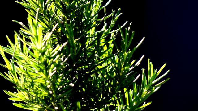 スローモーションを回すローズマリーの木 - ローズマリー点の映像素材/bロール