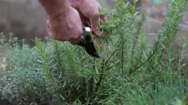 rosemary - pruning shears stock videos and b-roll footage
