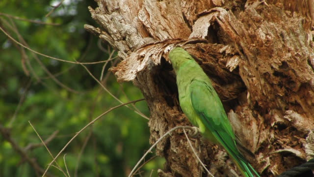Rose-ringed Parakeet (Psittacula krameri) looking into tree trunk, Israel