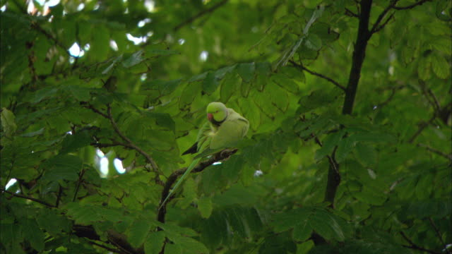 ws rose-ringed parakeet (psittacula krameri) on tree branch / amsterdam, holland - disguise stock videos & royalty-free footage