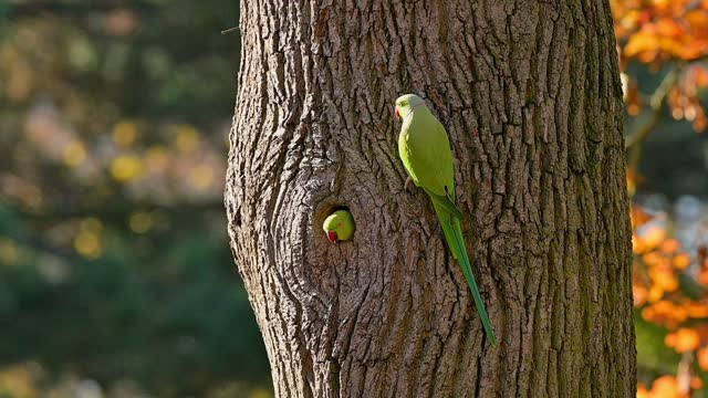 rose-ringed parakeet, psittacula krameri, in autumn - blatt pflanzenbestandteile stock-videos und b-roll-filmmaterial